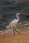 Heron Photos - Beach Bum by Skip Willits