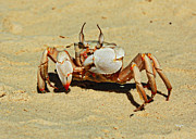 Tropical Photographs Originals - Beach crab by Oleksii Vovk