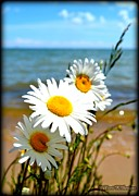 Terri K Designs - Beach Daisies