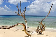 Grand Barbados Framed Prints - Beach Driftwood in Barbados Framed Print by Willie Harper