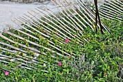 Sand Fences Prints - Beach Flowers Print by JC Findley