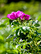 Michelle Wiarda - Beach Rose Beauties