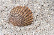 Terry DeLuco - Beach Seashell