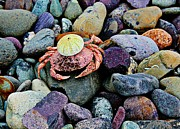 Colored Rocks Posters - Beach Wares - Egghead Crab Poster by Barbara Griffin