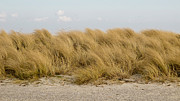 Beachgrass Posters - Beachgrass Ammophila Poster by Andreas Altenburger