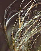Beads Of Water On Sea Grass Print by Artist and Photographer Laura Wrede