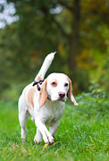 Dog Walking Framed Prints - Beagle being walked off a lead in the field Framed Print by Fizzy Image