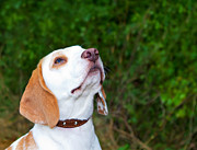 Dog Walking Posters - Beagle in a field looking up Poster by Fizzy Image