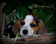 Beagle Puppy Print by Lynn Griffin