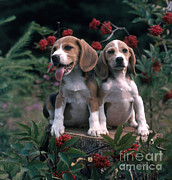 Beagles Print by Hans Reinhard