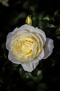 John Haldane - Beaming White Rose