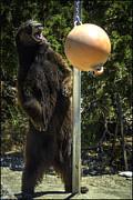 LeeAnn McLaneGoetz McLaneGoetzStudioLLCcom - Bear Ball Play
