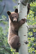 Jetson Nguyen - Bear cub on tree at...