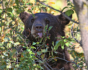 Huckleberry Photos - Bear Eating The Huckleberrys by Missi Gregorius
