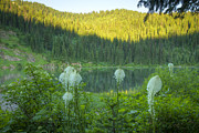 North Idaho Framed Prints - Bear Grass Framed Print by Idaho Scenic Images Linda Lantzy