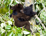 Black Bear Climbing Tree Posters - Bear Hug Poster by Nancy J  Wagner Photography
