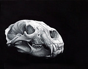 Back And White Posters - Bear Skull Study Poster by Brent Schreiber