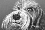 Collie Drawings Framed Prints - Bearded Collie Framed Print by Patricia Piffath