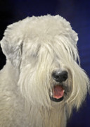 Furry Coat Posters - Bearded Collie - the Bouncing Beardie Poster by Christine Till