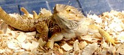 Gail Matthews - Bearded Dragon