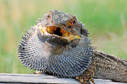 Australian Open Metal Prints - Bearded dragon in defense mode Metal Print by Christopher Edmunds
