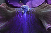 Bearded Irises Photos - Bearded Iris Whats My Line by Tim Gainey