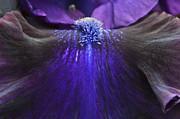 Bearded Iris 'whats My Line' Print by Tim Gainey