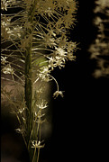 Idaho Wildflower Framed Prints - Beargrass Detail Framed Print by Sharon Elliott