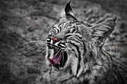 Bobcat Art Prints - Bearizona Bobcat Print by Priscilla Burgers