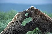 Roar Photos - Bears Fighting for a Fish by Tim Grams