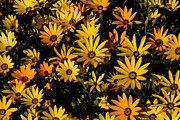 African Greeting Posters - Beautiful African Daisies Poster by Robert Bales