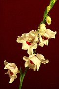 Purple Gladiolas Posters - Beautiful Array Poster by Deborah  Crew-Johnson