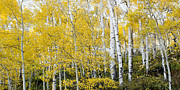 Tim Reaves - Beautiful Aspens