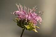 Rosanne Jordan - Beautiful Bee Balm