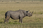 Sandy Schepis - Beautiful Black Rhino