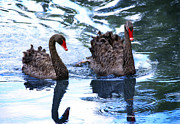 Companions Digital Art - Beautiful Black Swans by Claudette DeRossett
