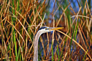 Grey Heron Framed Prints - Beautiful Blue Framed Print by Al Powell Photography USA
