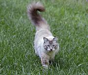 Susan Leggett - Beautiful Blue Eyed Cat...