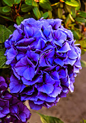 Plant Greeting Cards Posters - Beautiful Blue Hydrangea Poster by Robert Bales