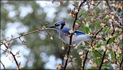 Rosanne Jordan - Beautiful Blue Jay