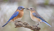 Bonnie Barry - Beautiful Bluebirds