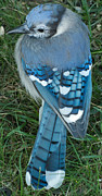 Bluejay Metal Prints - Beautiful BlueJay Metal Print by Alan Cline