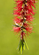 Bottle Brush Metal Prints - Beautiful Bottle Brush Flower Metal Print by Sabrina L Ryan