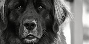 Leonberger Prints - Beautiful Boy Print by Marysue Price