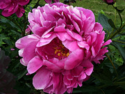 Fushia Prints - Beautiful Bright Pink Frilly Peony Print by Maureen Tillman