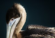 Beautiful Brown Pelican Print by Paulette  Thomas