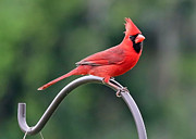 Bird-feeder Prints - Beautiful Cardinal Print by Carol Groenen