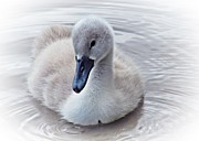 Lilroseann Photography Prints - Beautiful Cygnet Print by LilRoseann Photography