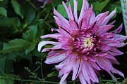 Victoria Sheldon - Beautiful Dahlia