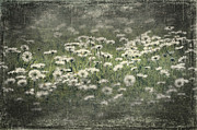 Fresh Green Prints - Beautiful Daisies Print by Svetlana Sewell